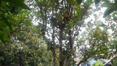 Photo of The Guava Tree